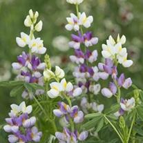 Lupin Lilac Javelin Flower Seeds