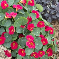 Nasturtium Baby Deep Rose Flower Seeds