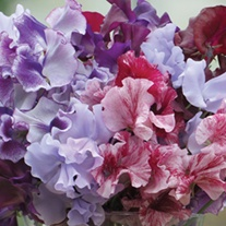 Sweet Pea Metaphor Flower Seeds