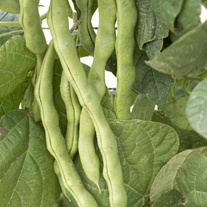 Climbing Bean Lazy Housewife Seeds