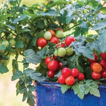 Tomato Veranda Red Seeds