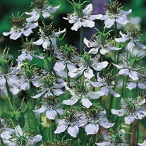 Nigella Sativa (Black Caraway) Herb Seeds