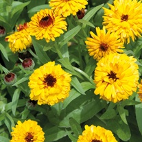 Calendula Bull's Eye Flower Seeds