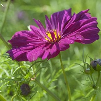 Cosmos Fizzy Purple Flower Seeds