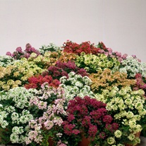 Alyssum Aphrodite Mix Flower Seed