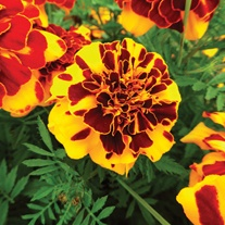 French Marigold Goldiluxe Flower Seeds