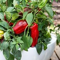 Pepper (Sweet) Paragon Seeds