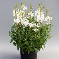 Gaura Emmeline White Flower Seed