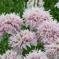 Poppy Lilac Pompom