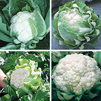 Cauliflower Seeds Cropping Programme