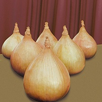 Kelsae Onion Seed
