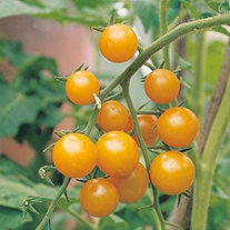 Tomato Sungold F1 AGM (Cherry) Grafted Veg Plants