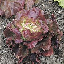 Lettuce Sierra Plants