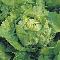Lettuce Clarion AGM  Plants