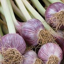 Garlic Caulk Wight Bulbs (hardneck)