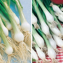 Spring Onion Long Cropping Veg Seed Collection