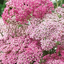 Achillea Appleblossom Potted Flower Plant