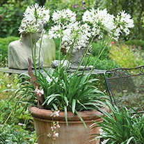 Agapanthus White Umbrella Potted Flower Plant