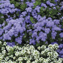 Ageratum Champion Blue F1 Plug Plants