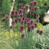 Allium sphaerocephalon Flower Bulbs