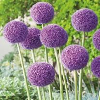 Allium giganteum Flower Bulbs