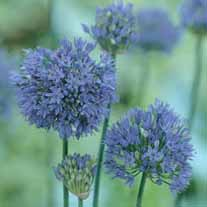 Allium caeruleum Bulbs