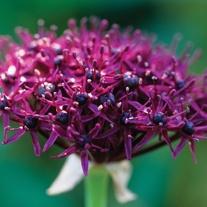 Allium atropurpureum Flower Bulbs