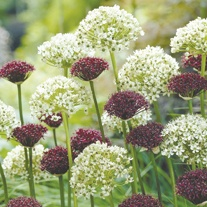 Allium atropurpureum & nigrum Bulb Collection
