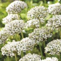 Allium nigrum Flower Bulbs
