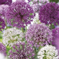 Allium Border Flower Bulb Mix