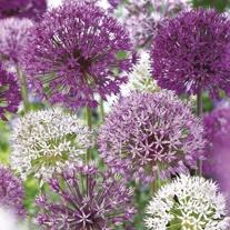 Allium Border Flower Bulb Mix