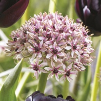 Allium Red Eye Flower Bulbs
