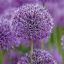 Allium rosenbachianum Flower Bulbs