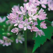 Allium Unifolium Bulbs