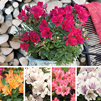 Alstroemeria Inticancha Flower Plant Collection