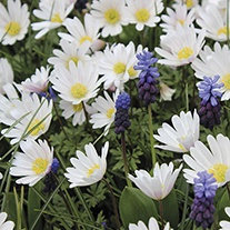 Anemone Blanda White Splendor Bulbs