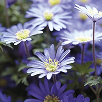 Anemone blanda Blue Shades Flower Bulbs