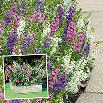 Angelonia Serena Mixed Plug Plants