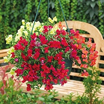 Antirrhinum Candelabra Mixed F1 Flower Plants