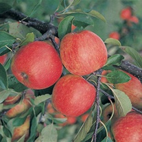 Apple Red Falstaff AGM fruit tree
