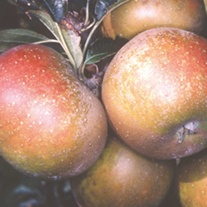 Apple Egremont Russet AGM Fruit Tree