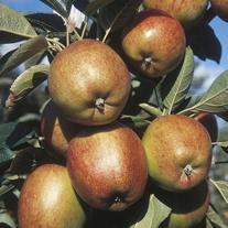 Apple Braeburn Fruit Tree