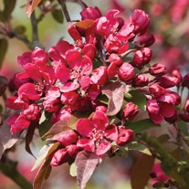 Crab Apple Royalty Fruit Tree