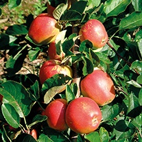 Apple Braeburn Original AGM 2yr old tree
