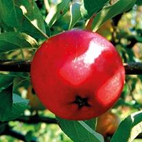 Apple Early Windsor 2yr old tree