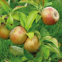 Apple Egremont Russet AGM 2yr old tree