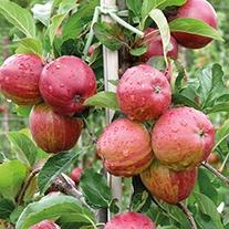 Apple Royal Gala AGM 2yr old tree