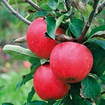 Dwarf Apple Sally 5.5ltr potted tree