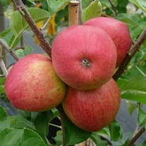 Apple Pinova 2yr old