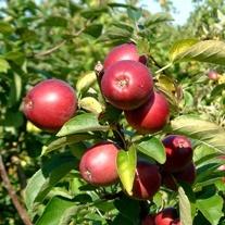 Apple Worcester Pearmain AGM 2yr old